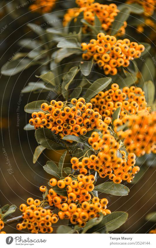 Orangene Waldbeeren Außenaufnahme Grünpflanze Pflanze botanisch Herbstfärbung Beerensträucher Sträucher Holly Beeren Weihnachtsdekoration Gift gefährlich