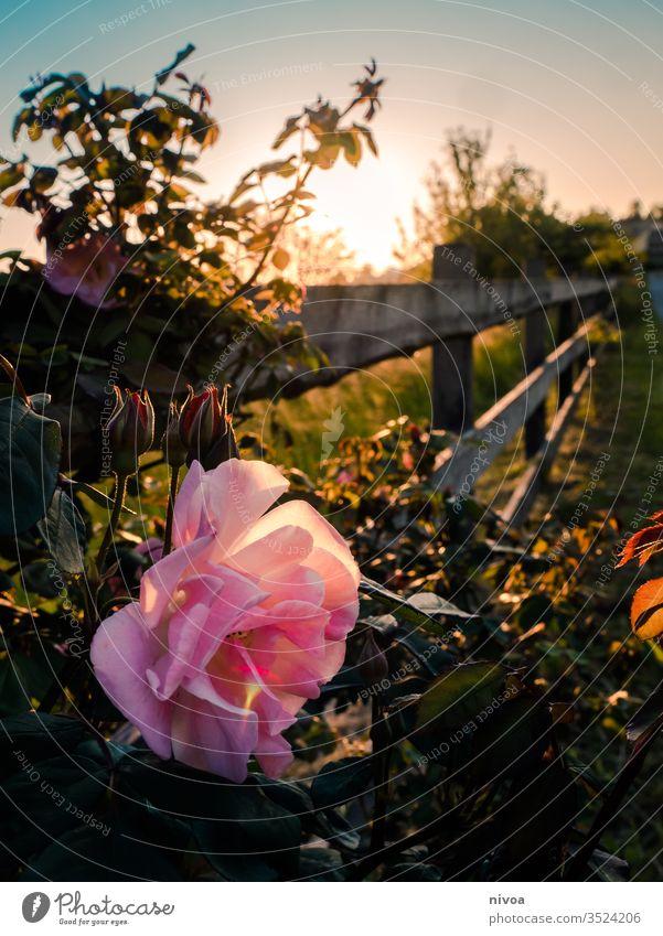 Rose bei Sonnenuntergang Roséwein Rosengewächse Rosenblüte Spaziergang Menschenleer Rosenblätter Farbfoto Garten rosa Natur Außenaufnahme Blüte Pflanze Blume