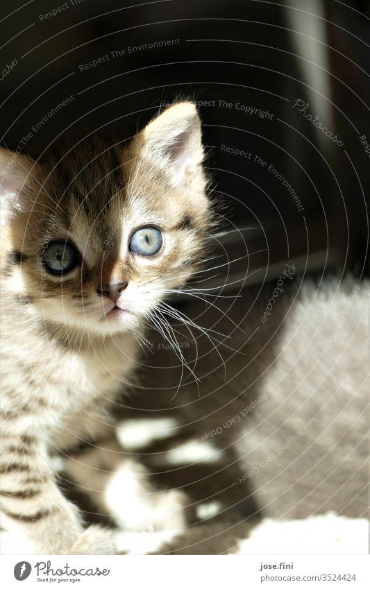 kleines getigertes Kitten mit großen blauen Augen, Schatten und Sonne fallen auf sein Gesicht Katze blaue augen erschrocken schüchternheit jung Säugetier