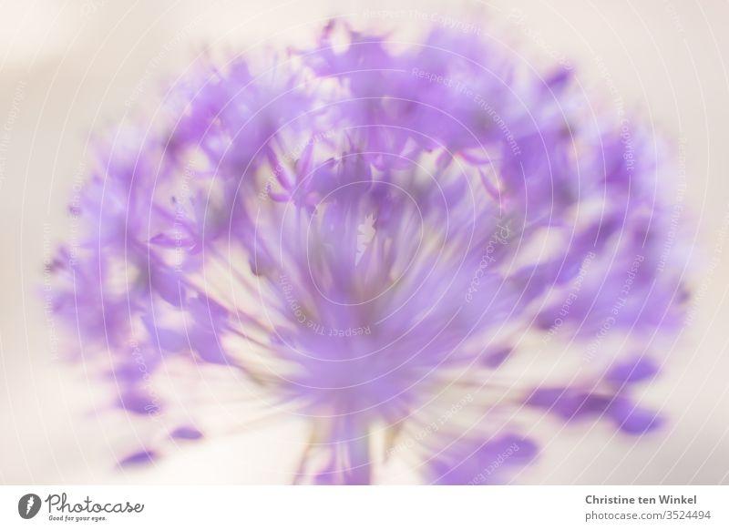 Blüte eines violetten Zierlauchs / Allium in Nahaufnahme vor hellem Hintergrund. Unscharf/abstrakt Zierlauchblüte unscharf Schwache Tiefenschärfe