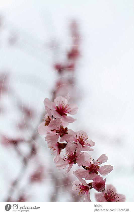 Rosa Ranke, Zweig, Ast vom Kirschbaum mit rosa Blüten, wachsen dekorativ im Garten, in der Natur, vor neutralem Hintergrund. Schönes Motiv als Dekoration, Verzierung für Muttertag, Ostern, Valentinstag, Hochzeit, Geburtstag und andere Feste, Feiern.