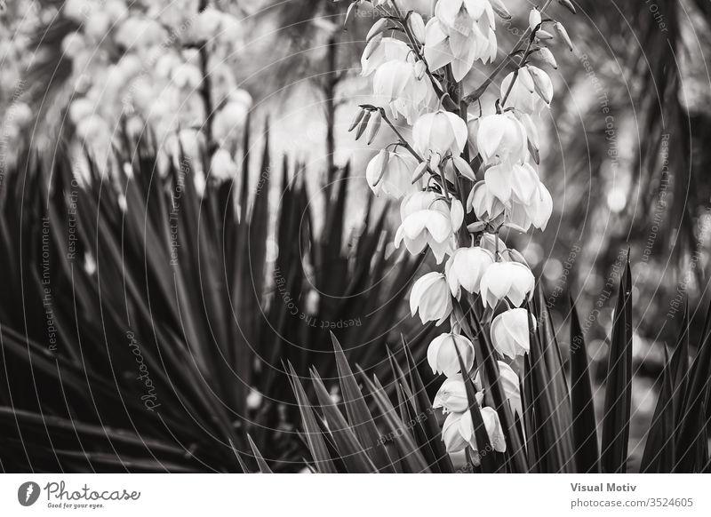 Glockenförmige weiße Blüten und gerade Blätter der Yucca Aloe Yucca Yucca aloifolia spanisches Bajonett Dolchpflanze Yucca Gloriosa Adamsnadel glorreiche Yucca