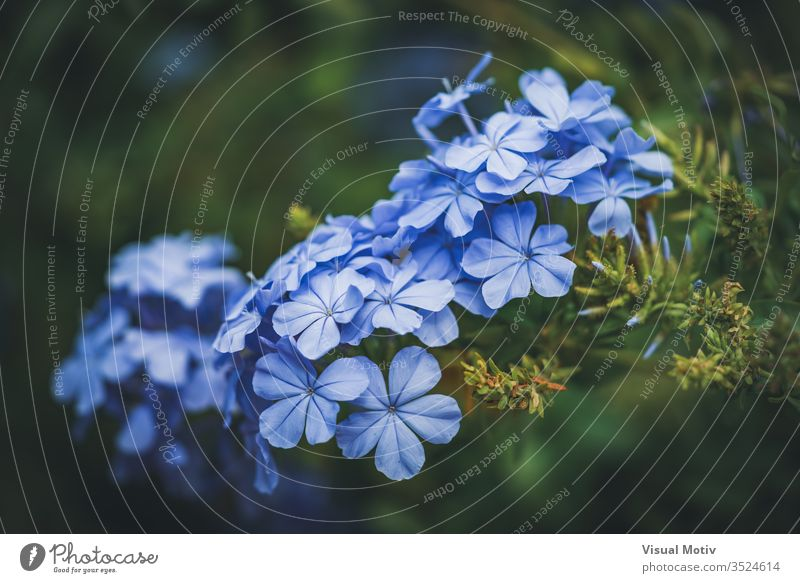 Blaue Blüten der Kap-Bleiwurz, auch bekannt als Blauer Bleiwurz oder Plumbago Auriculata Hintergrund schön Schönheit Blütezeit Überstrahlung blau