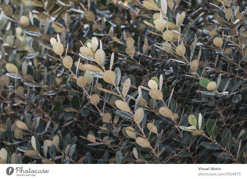 Aufsteigende Zweige und grün-weiße Blätter eines Strauches Buchse Farbe Natur natürlich Pflanze Blatt Park Garten im Freien Outdoor-Fotografie Außenseite