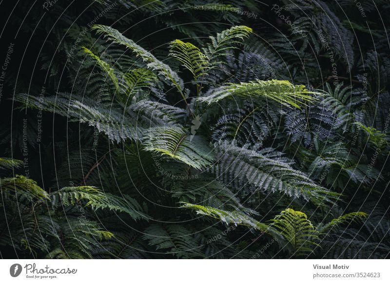 Grüne Blätter von Jacaranda mimosifolia, allgemein bekannt als Jacaranda-Baum Farbe Natur natürlich Blatt Park Garten im Freien Outdoor-Fotografie Außenseite