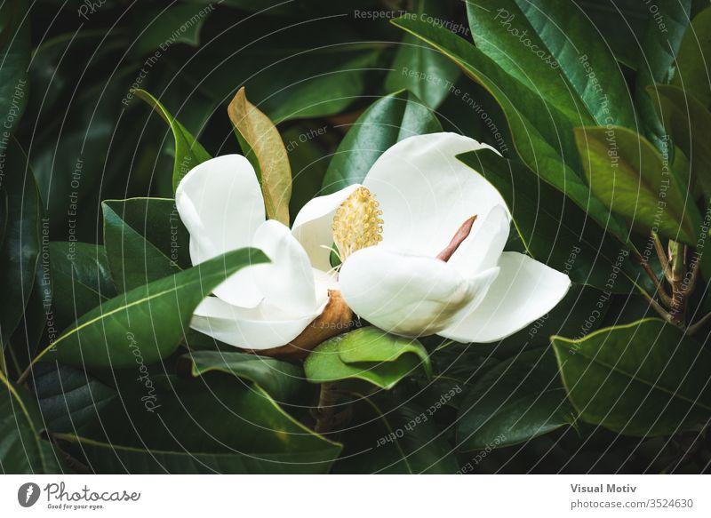 Schöne weiße Magnolia Grandiflora-Blüte zwischen den grünen Blättern Magnolie grandiflora botanisch Magnolienblüte Blume Garten weiße Blume geblümt Natur