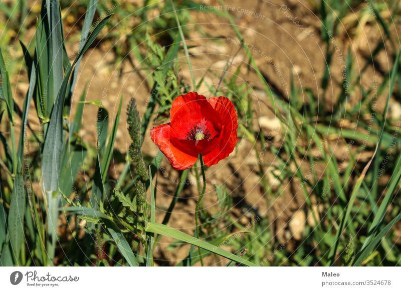 Nahaufnahme einer wilden Mohnblume auf einer Wiese Blume Sommer Feld Landschaft Natur Pflanze Saison Frühling schließen nach oben rot natürlich Hintergrund