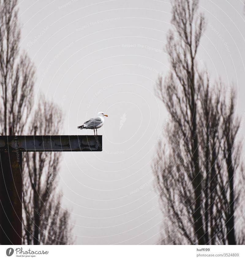 Möwe auf einem Stahlträger Möwenvögel Himmel Sommer Flügel Meer fliegen Vögel Lachmöwe Freiheit blau Strand Küste Wolken Ostsee Nordsee Nordseeinsel