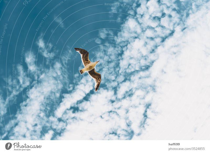 Möwe am Himmel Möwenvögel Sommer Flügel Meer fliegen Vogel Lachmöwe Möve Freiheit blau Strand Küste Wolken Ostsee Nordsee Nordseeinsel Nordseeküste