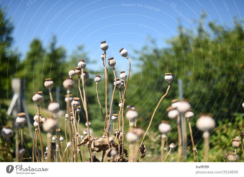Mohnkapseln auf einem Feld Mohnfeld Mohnblume mohnkapseln Pflanze Mohnblüte Wiese Sommer Blume Klatschmohn mohnwiese