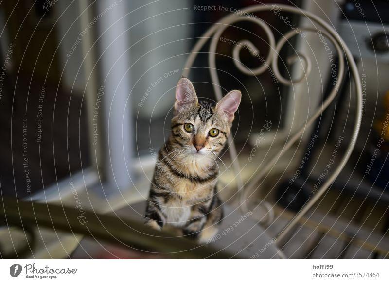 die Katze 'Praline' blickt zuversichtlich im Wissen um ihre ihr hörigen Versorger junge Katze Hauskatze Fell niedlich Auge Tierporträt Schnurrhaar Blick schön