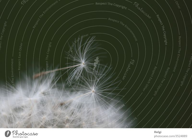Macroaufnahme von zwei filigranen Schirmchen einer Pusteblume Löwenzahn Pflanze Natur Außenaufnahme Frühling Farbfoto Makroaufnahme Umwelt Samen Nahaufnahme