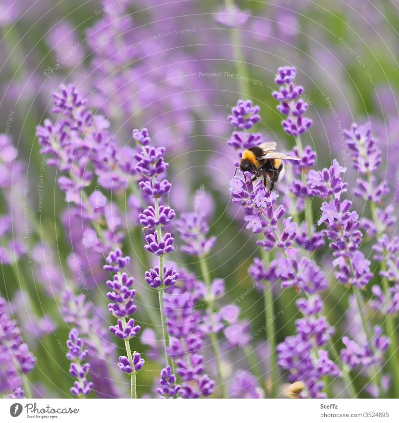 Hummel beim Nektarsammeln auf Lavendelblüten violett violette Blumen Schwache Tiefenschärfe keine menschen keine Person verwischt natürliche Farbe
