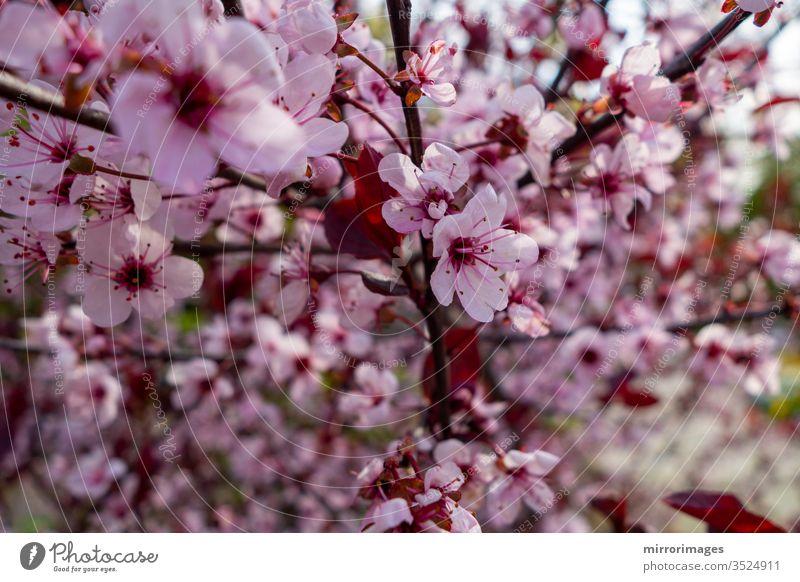 Blühende weiße und rosa Baumblüten Frühlingsblumen Blütenknospen im Freien farbenfroh botanisch Sonne rosa Baumblüten blühen frisch Zerbrechlichkeit Hintergrund