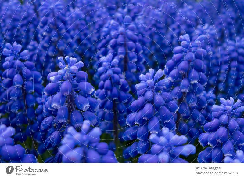 Traubenhyazinthe blau-violett blühende Blumen in einem Garten Überstrahlung Flora armeniacum-Blume Vorfrühling Muskari-Blüte Traubenhyazinthenblüte