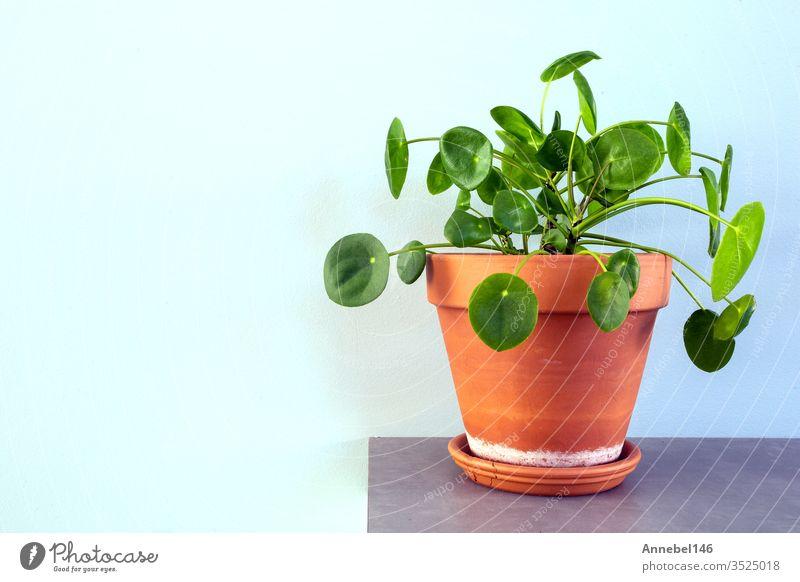pilea peperomioides, Chinesische Geldpflanze, Ufo-Pflanze oder Pfannkuchenpflanze im retro-modernen Design Natur grün Topf Blätter wachsend Wachstum kreisen