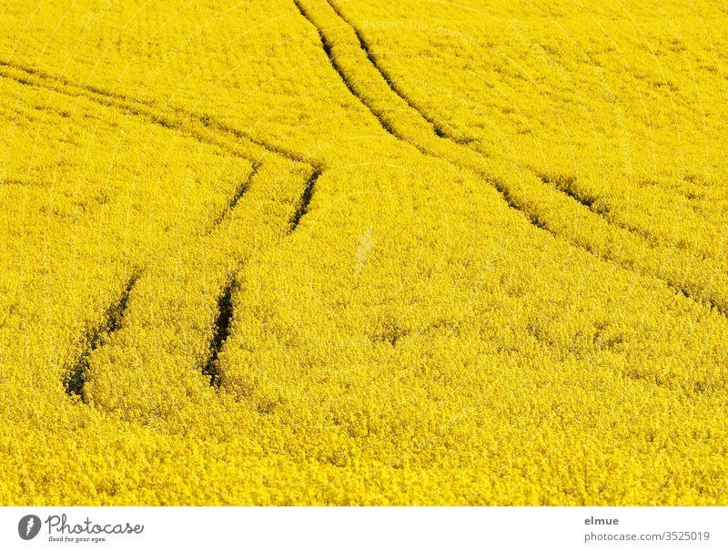 Rapsfeld ohne Horizont mit zwei Leitspuren - eine davon geknickt unkonzentriert Rapsblüte gelb schief Ölpflanze Rapsöl Ackerbau Frühling Mai Farbe Karriereknick