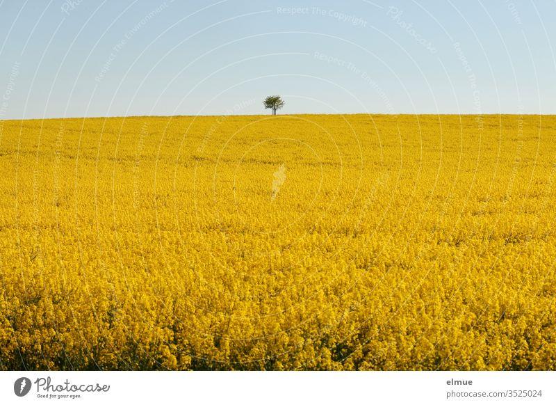 Rapsfeld mit Baum am Horizont und hellblauem Himmel Rapsblüte gelb Ölpflanze Rapsöl Ackerbau Frühling Mai Farbe Lewat Feldbau Landwirtschaft Landschaft Blüte