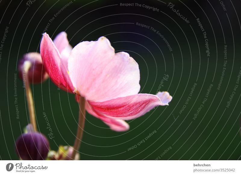 ane mone Nahaufnahme Wiese schön Licht Landschaft Wärme Umwelt Menschenleer Blütenblatt Garten Sonnenlicht prächtig leuchtend Blume blühen duftend Duft Sommer