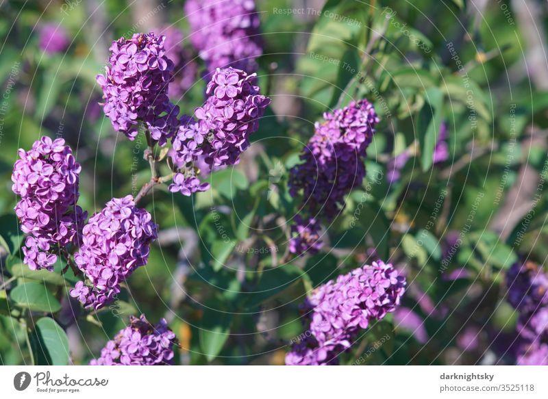 Flieder Strauch in voller Blüte Fliederbusch fliederblüte Fliederblüten Lila Violett grün sonne garten detail Zierde Dolden Farbharmonie Umwelt Frühling