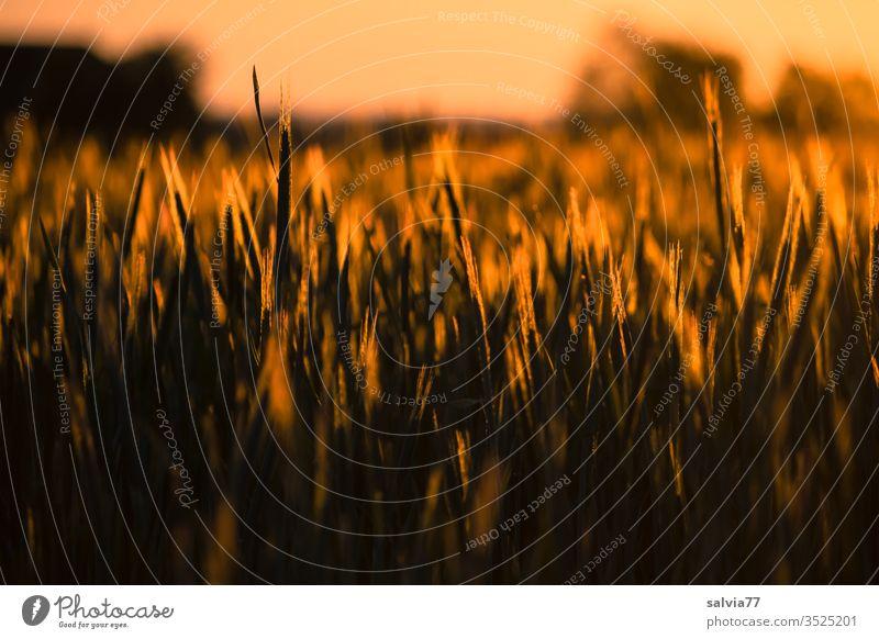 Getreidefeld im Abendlicht Natur Ähren Landwirtschaft Abendsonne Feld Kornfeld Nutzpflanze Sommer Wachstum Ackerbau Ernährung Landschaft Abenddämmerung Pflanze