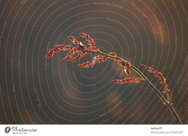 Ampferblüte im Abendlicht Natur Pflanze Farbfoto Blütenstauden Außenaufnahme Menschenleer Nahaufnahme Gegenlicht Wärme Warmes Licht Textfreiraum unten