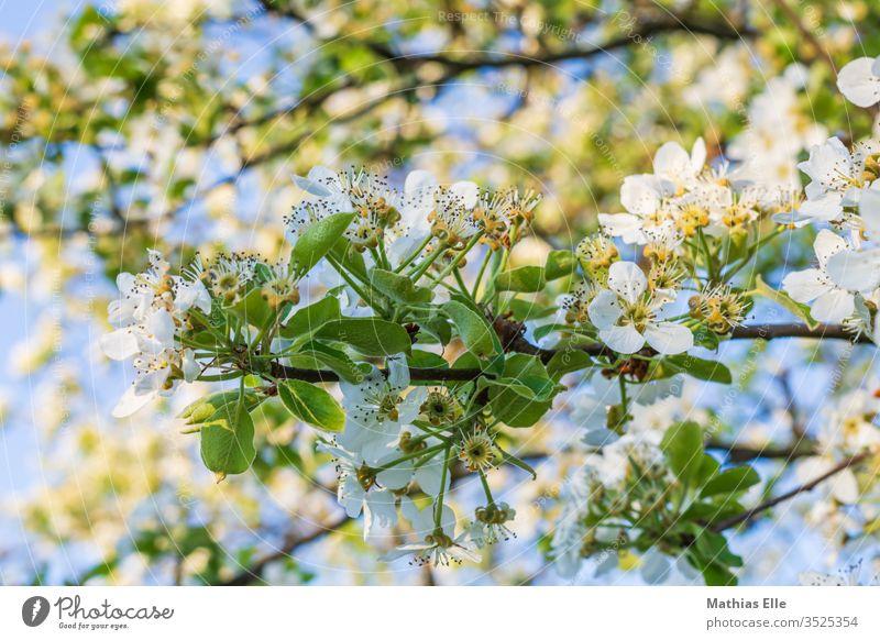 Zweig mit Kirschblüten Pflanze Idylle Frühlingsgefühle Außenaufnahme Honig sammeln Blüte Duft Nutzpflanze weiß Blütenblatt Hintergrundbild Blütenblätter Kirsche