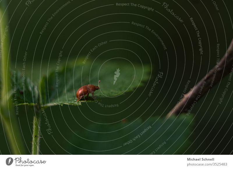 Kleiner rötlicher Käfer auf grünem Blatt Insekt Makroaufnahme rot krabbeln Tier Nahaufnahme Farbfoto Natur