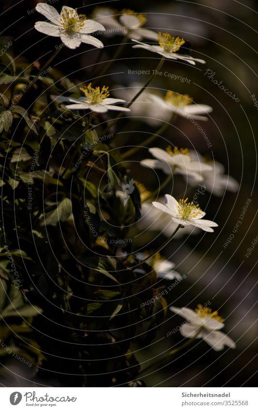 Buschwindröschen Blütenpflanze weiße blüten Bodendecker Frühlingsblume Blumen Nahaufnahme Farbfoto Natur Außenaufnahme Garten Menschenleer Pflanze