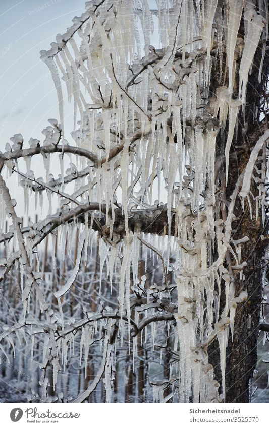 Eiszapfen am Apfelbaum Frost gefroren Menschenleer morgengrau Natur Außenaufnahme frostschutz frieren kalt Eisschicht