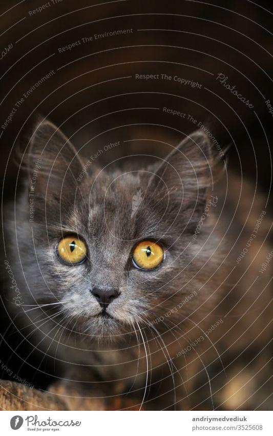 Die niedliche graue Katze. Die lustige Katze. Das Konzept der modischen Katzen. Tiere Erwachsener Briten Familie interessant Innenbereich nein Haustiere