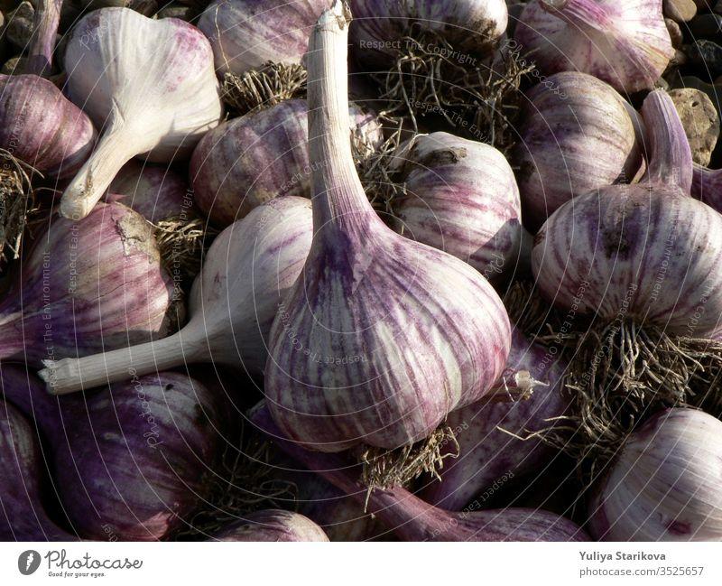 Hintergrund mit violetter Knoblauch-Textur. Frischer Knoblauch auf dem Markttisch Nahaufnahme. Gewürzbild mit Vitaminen und gesunden Nahrungsmitteln. Bild mit würzigen Kochzutaten. Haufen violetter Knoblauchköpfe.