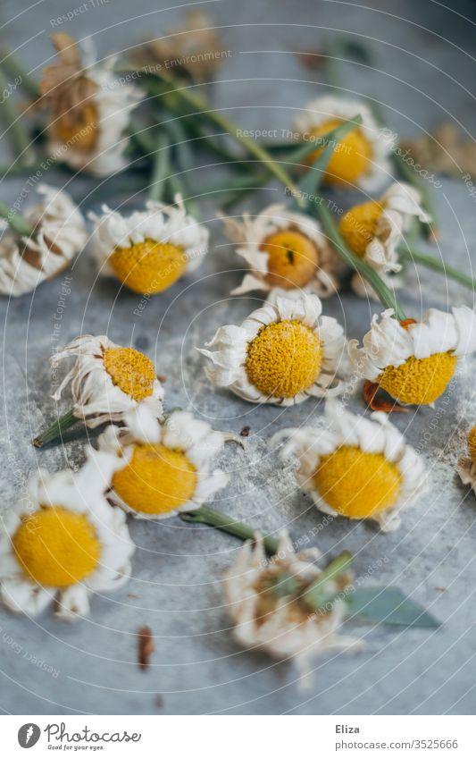 Abgeschnittene verblühte Margeriten vertocknet schneiden Blüten Blumen Garten Frühling Außenaufnahme gärtnern Pflanzen Pflanzenteile pflege Natur hell
