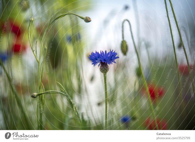 Es blüht die Kornblume im Vordergrund einer Wildblumenwiese,  Klatschmohn verschwimmt im Hintergrund Wiesenblumen Flora Blumen Pflanze Blüte Natur Sommer Gras
