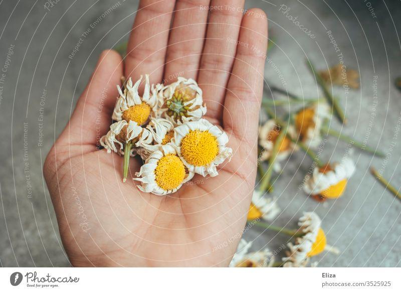 Eine Person die vertrocknete verblühte Margeriten in der Hand hält vertocknet schneiden Blüten Blumen Garten Frühling Außenaufnahme gärtnern Pflanzen