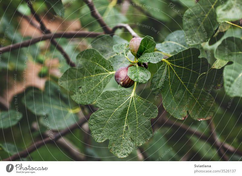 Reife Feigen auf einem Ast mit Blättern, Nahaufnahme Garten Frühling Blume schön hell Saison Flora Makro im Freien Blüte weiß Ackerbau Hintergrund schließen