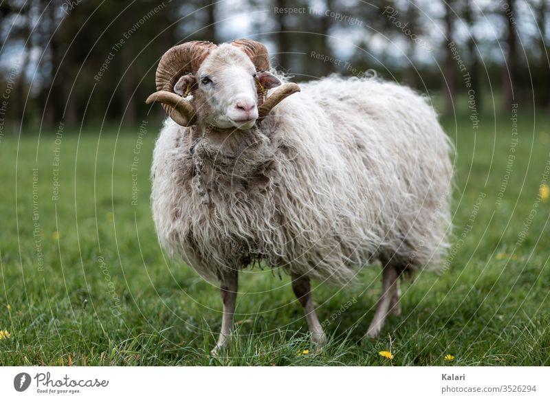 Ein Bock der Rasse weiße gehörnte Heidschnucke steht auf einer Wiese bock schaf heidschnucke wiese heideschaf rasse selten tier nutztier tierhaltung nachhaltig