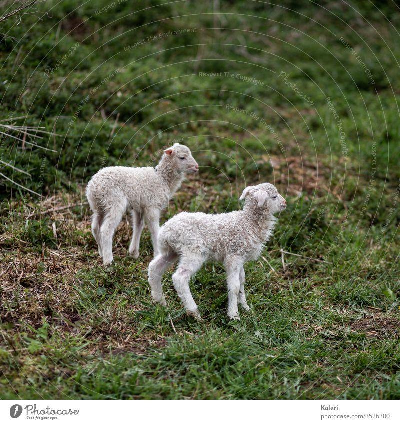 Zwei Lämmer der Heidschnucke auf einer Wiese lämmer weide weiße gehörnte heidschnucke lamm schaf osterlamm heideschaf rasse selten tier nutztier tierhaltung