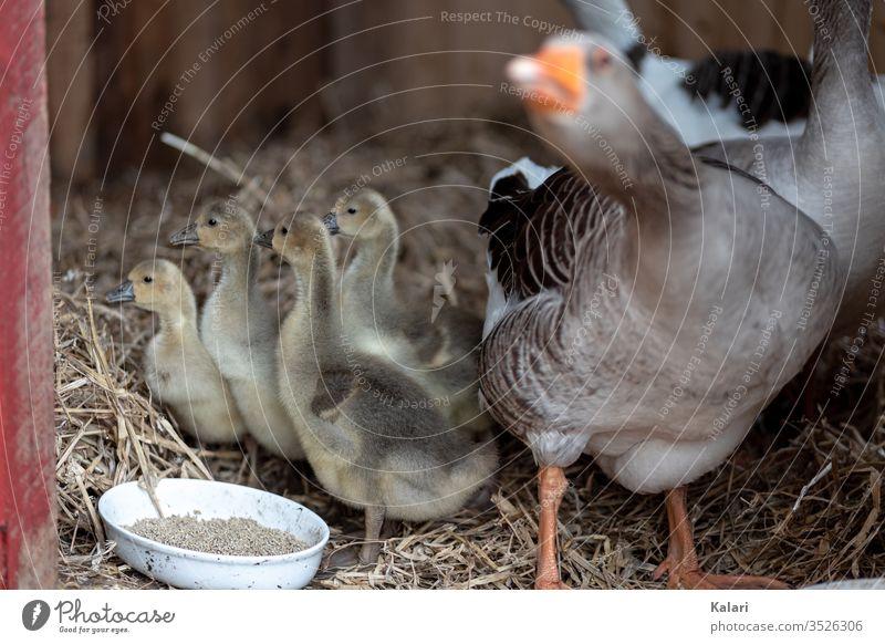 Artgerechte Haltung von Gänsen und deren Nachwuchs im Stall gössel gans jung stall futter stroh küken artgerecht tierhaltung flaumig vogel baby bauernhof