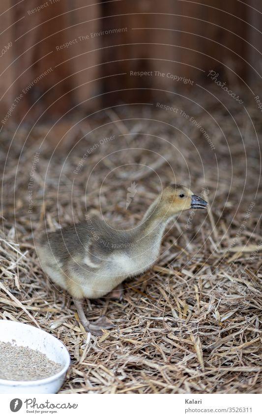 Eine junge Gans oder Gössel im Stall mit Stroh gans gössel stall stroh küken gelb artgerecht tierhaltung flaumig vogel baby bauernhof gosling schnabel hübsch