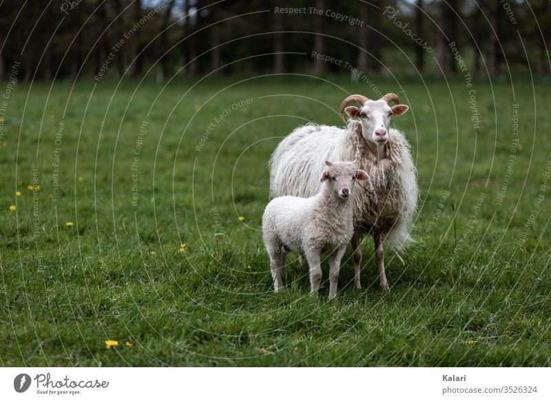 Ein Lamm und seine Mutter Heidschnucke mit Hörnern stehen auf einer Wiese schaf heidschnucke lamm mutter rasse selten gehörnt freilandhaltung schafrasse zucht