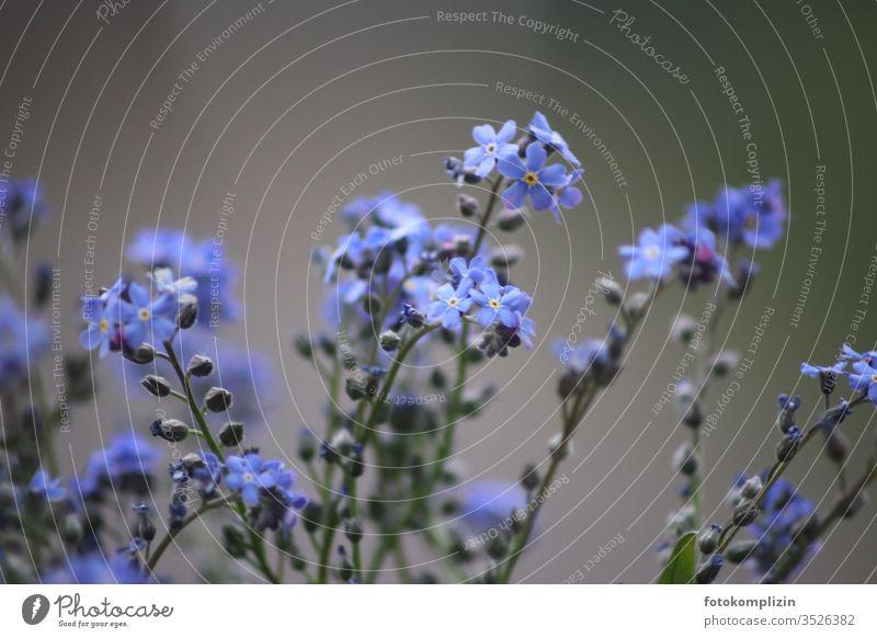 Vergissmeinnicht Blüten Unschärfe Vergissmeinicht Vergißmeinnicht Vergißmeinnichtblüte Pflanze Blume Schwache Tiefenschärfe blau Frühling Blühend Naturliebe