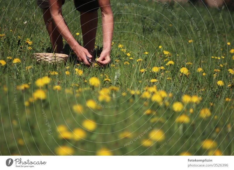 Wildkräuter und Löwenzahn pflücken löwenzahnwiese Heilkräuter ernten Wiesenblume wiesenkräuter Wiesenblumen Natur Blüte Frühling gelb Blüten sammeln