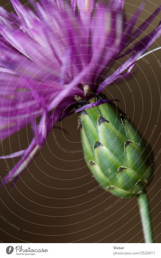 Blüte der braunen Flockenblume (Centaurea jacea). Bestens. Pyrenäen. Huesca. Aragonien. Spanien. aragonisch bestue Biodiversität Biosphäre Blütezeit