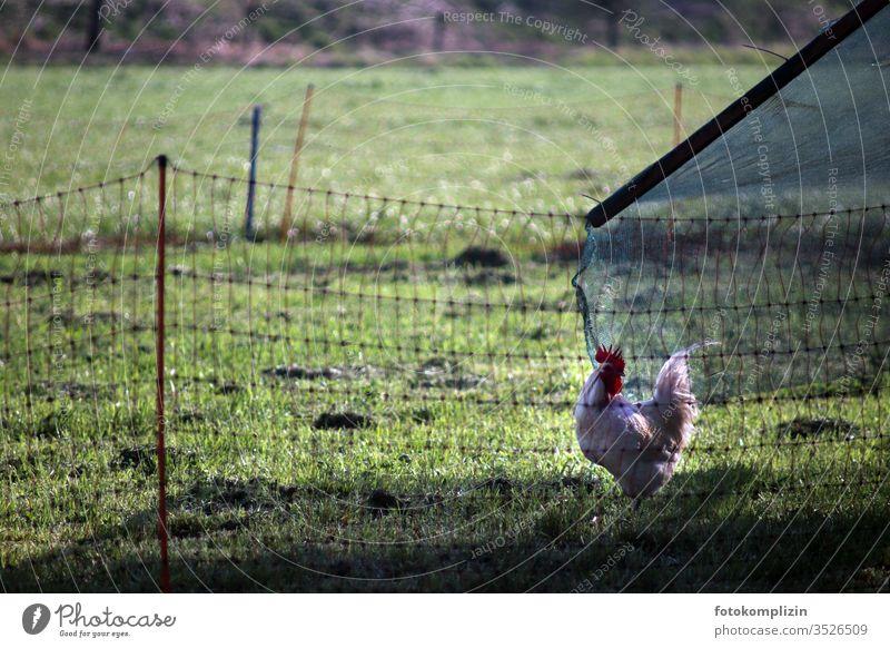 Hahn draußen im grünen Gehege artgerecht Haushuhn freilaufend Biologische Landwirtschaft Bauernhof Biotierhaltung tiergerecht Geflügel Nutztier 1 Natur Ei