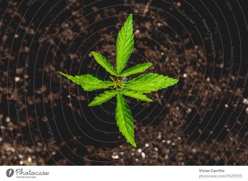 Baby-Marihuana-Pflanze Tetrahydrocannabinol entspannend kush hoch legal Apotheke im Innenbereich lernen Selbstkonsum ganja Verbot Legalisierung Gesundheitswesen
