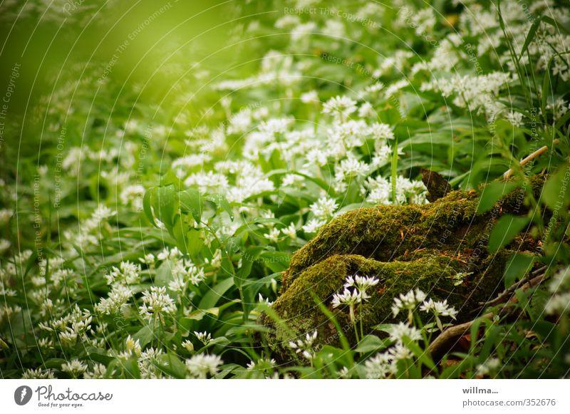 am busen der natur Natur Pflanze Moos Bärlauch wilder Knoblauch Wiese Wald Blühend grün weiß Wildgemüse Mooshügel Busen der Natur Farbfoto Außenaufnahme Tag