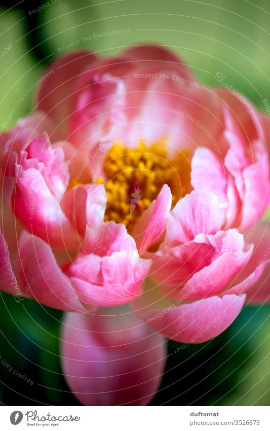 Nahaufnahme einer Pfingstrose, üppig pink Natur Päonien Pfingsten Blume Balkon Rose Pflanze Wachstum Sommer Schönheit Makroaufnahme Blüte Blühend Duft