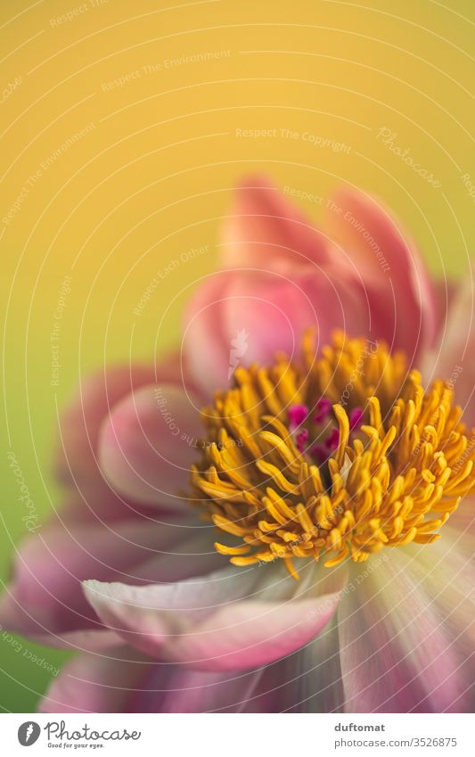 Nahaufnahme einer Pfingstrose, offene Blüte Natur Päonien Pfingsten Blume Balkon Rose Pflanze Wachstum Sommer Schönheit Makroaufnahme Blühend pink Duft