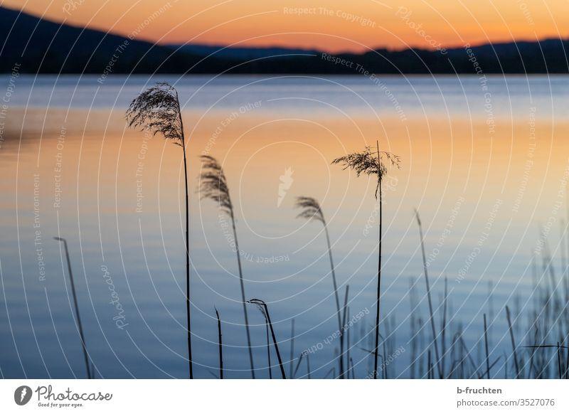 Schilfrohr am Seeufer im Abendlicht Wasserpflanze Natur Pflanze Menschenleer Landschaft ruhig Himmel Reflexion & Spiegelung Idylle Abenddämmerung Abendstimmung